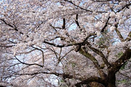 20060401_sakura.jpg